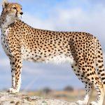 حفاظت از یوزپلینگ آسیایی با ظرفیت جوامع محلی