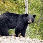 روزهای سیاه خرس سیاه آسیایی